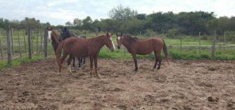 La Rural secuestró equinos sueltos a la vera de un camino vecinal