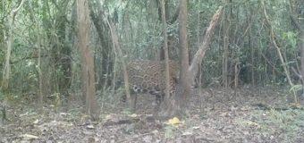 Una cámara trampa capta imágenes de un yaguareté en el Parque Nacional Río Pilcomayo