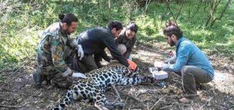 El yaguareté chaqueño es un macho adulto y ya está siendo monitoreado